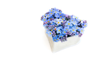 forget-me-not flowers in a silver heart shape isolated on white